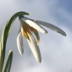 Galanthus nivalis 'Orange Star'