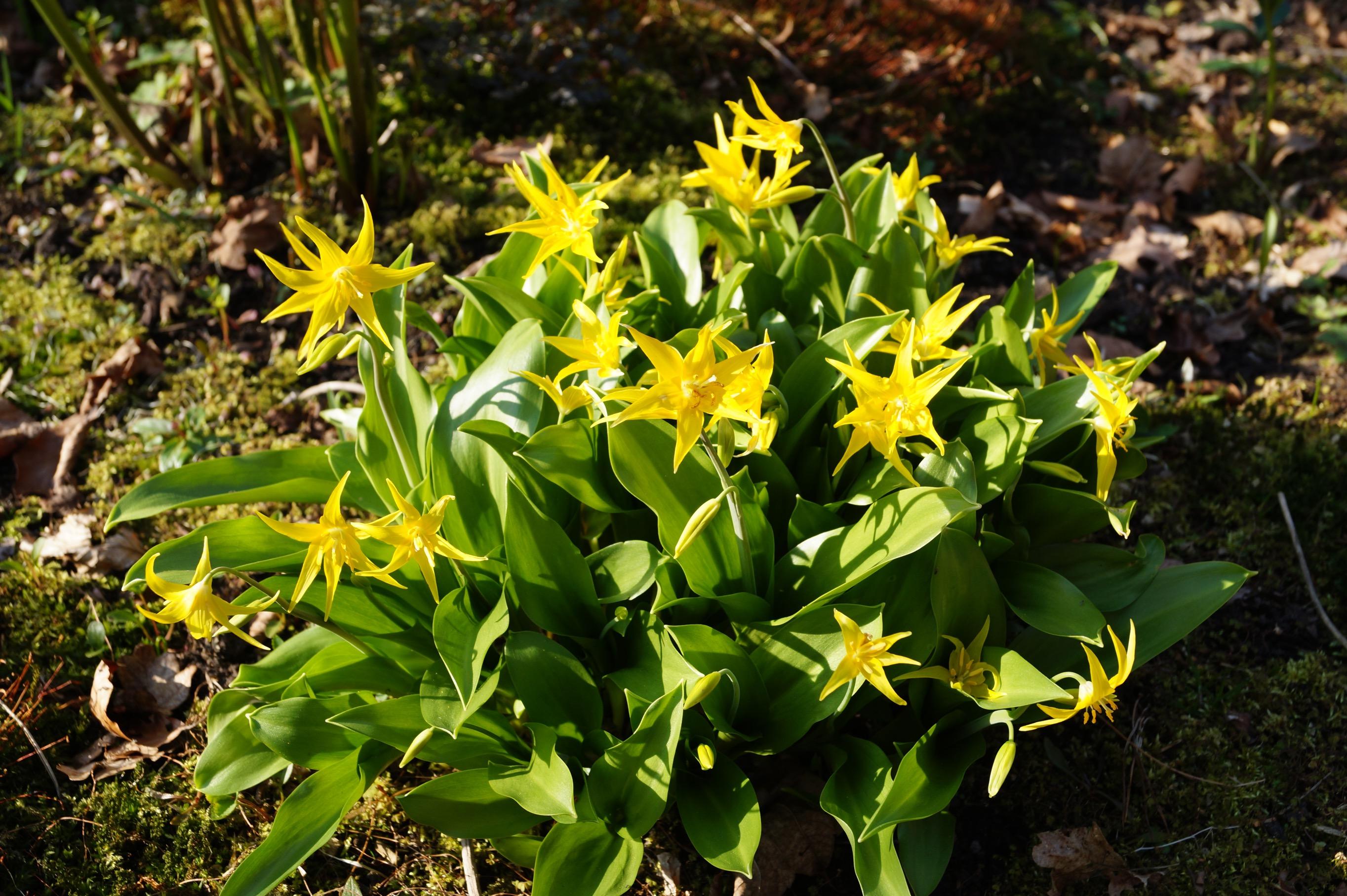erythronium_eba_clone_2_morlas_plants