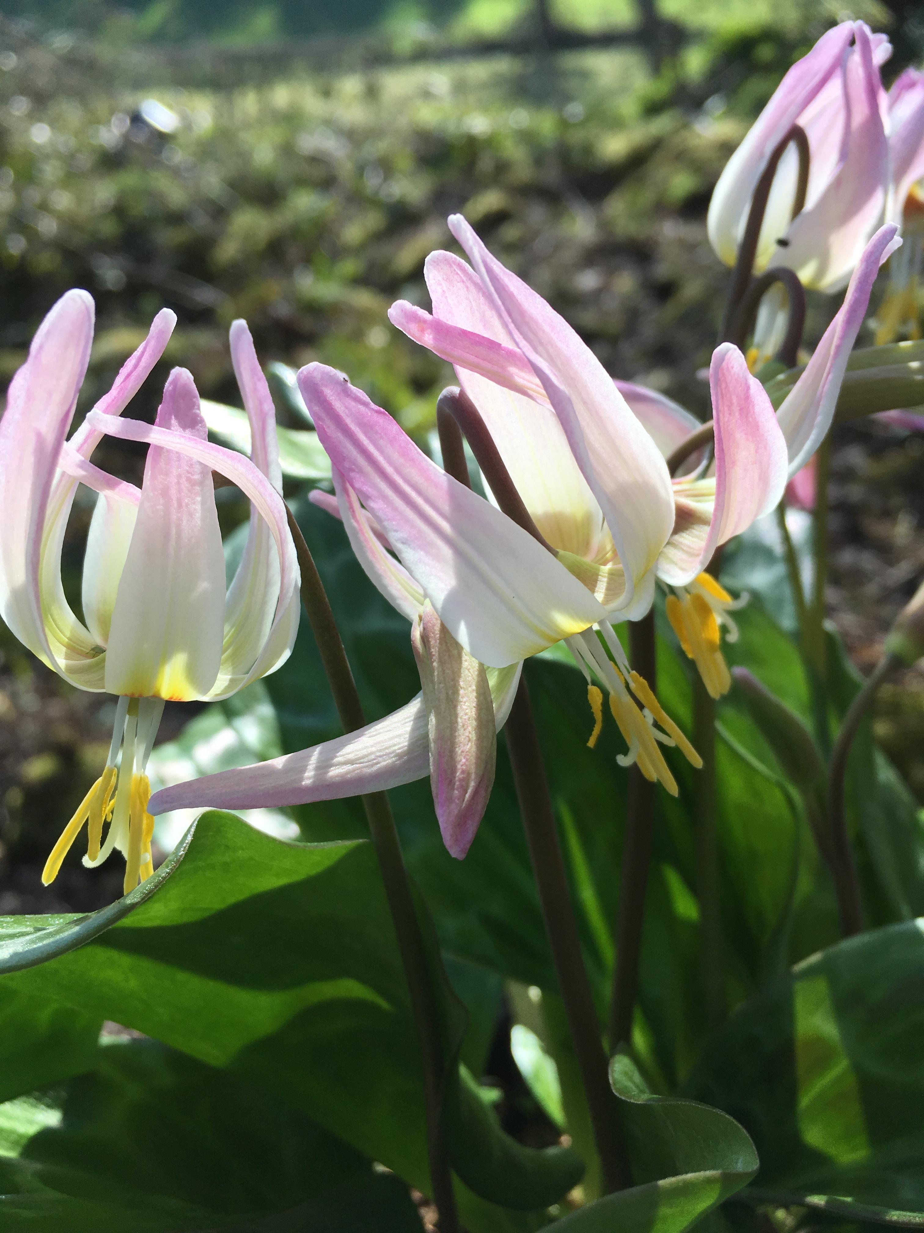 erythronium_rosalind_morlas_plants
