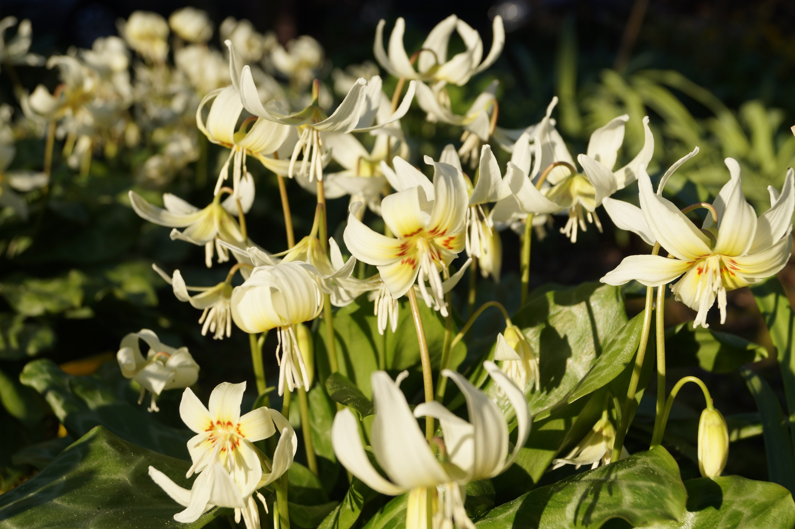 erythronium_white_beauty_morlas_plants