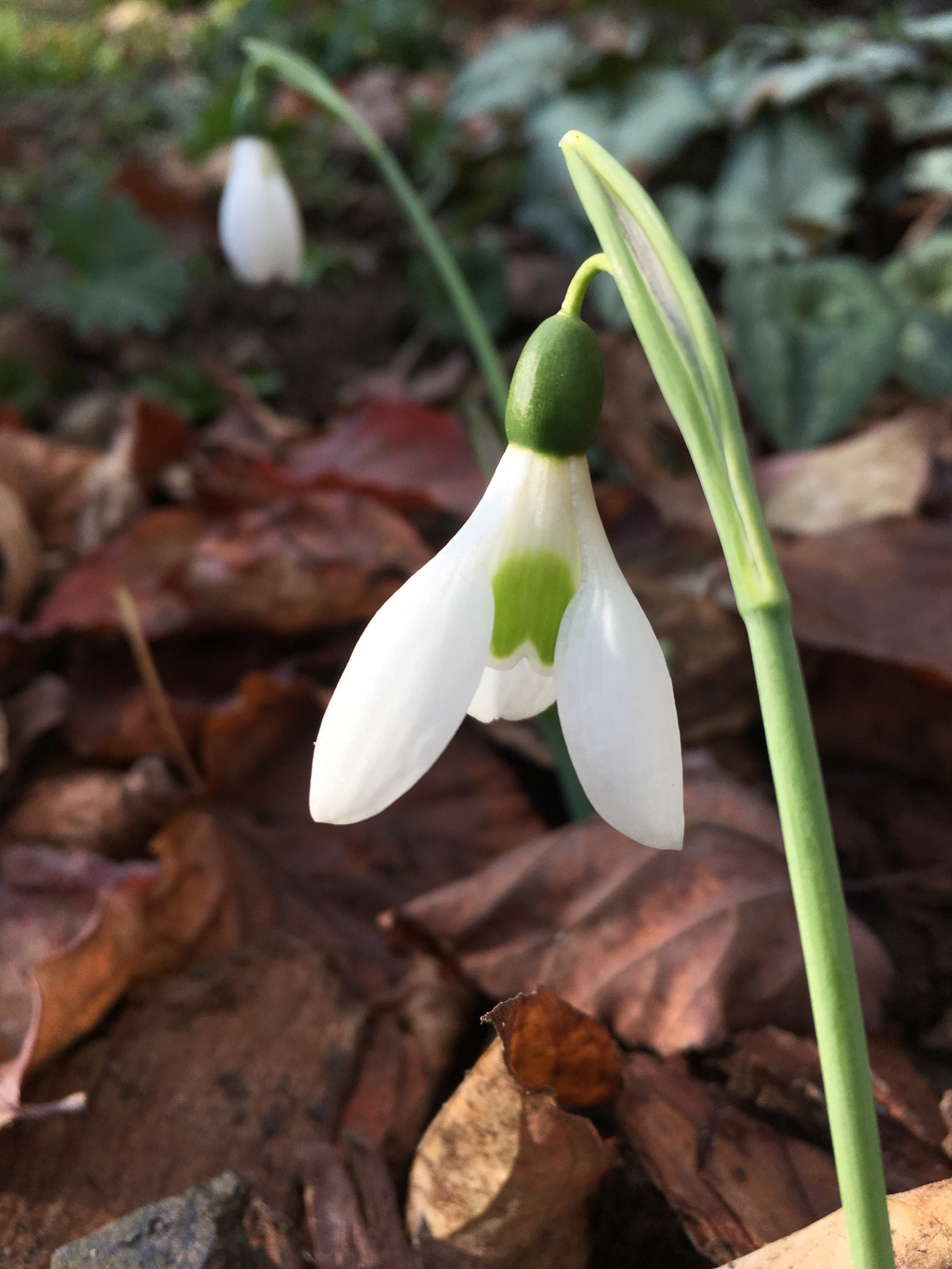galanthus_autumn_belle_morlas_plants