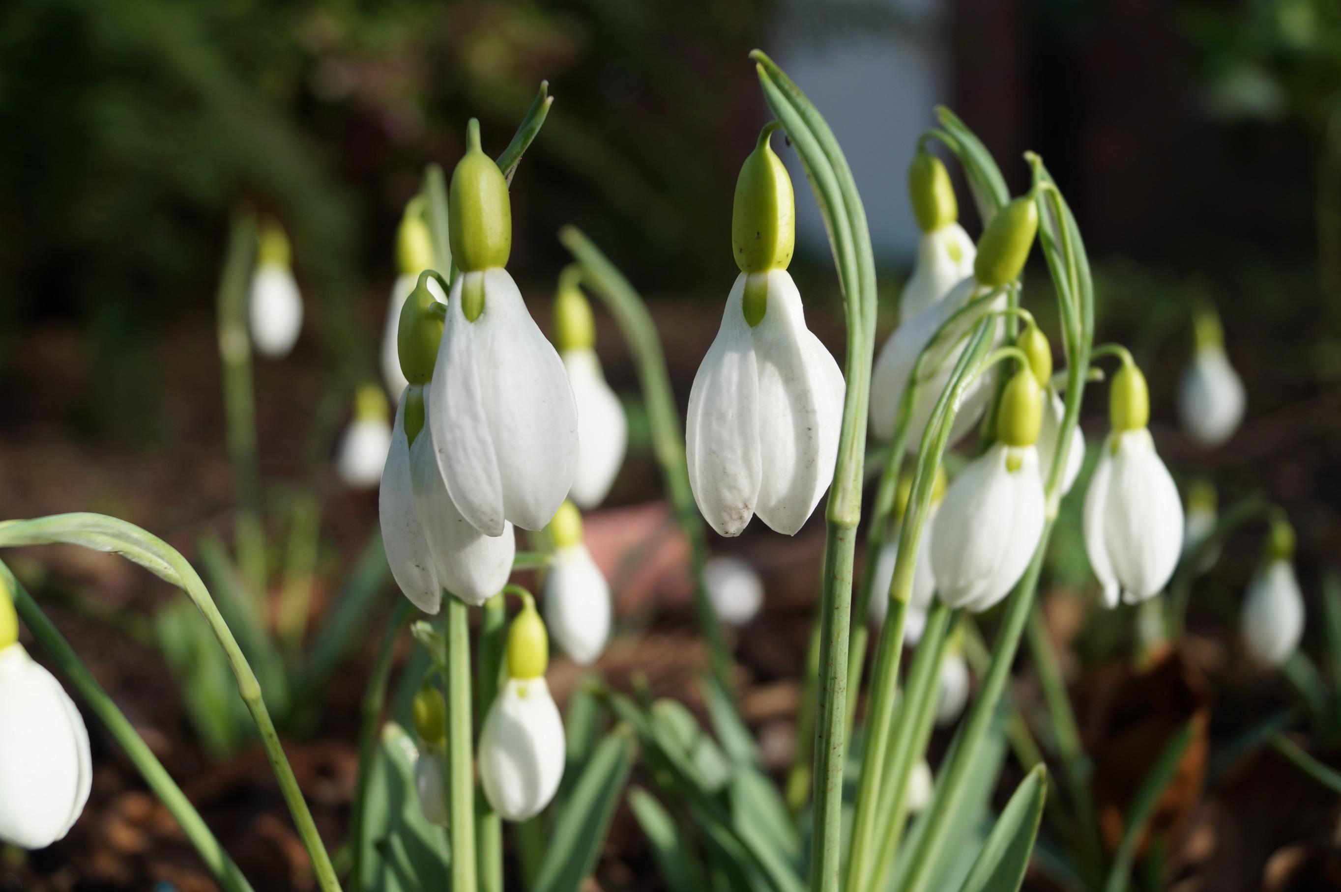 galanthus_bloomer_morlas_plants