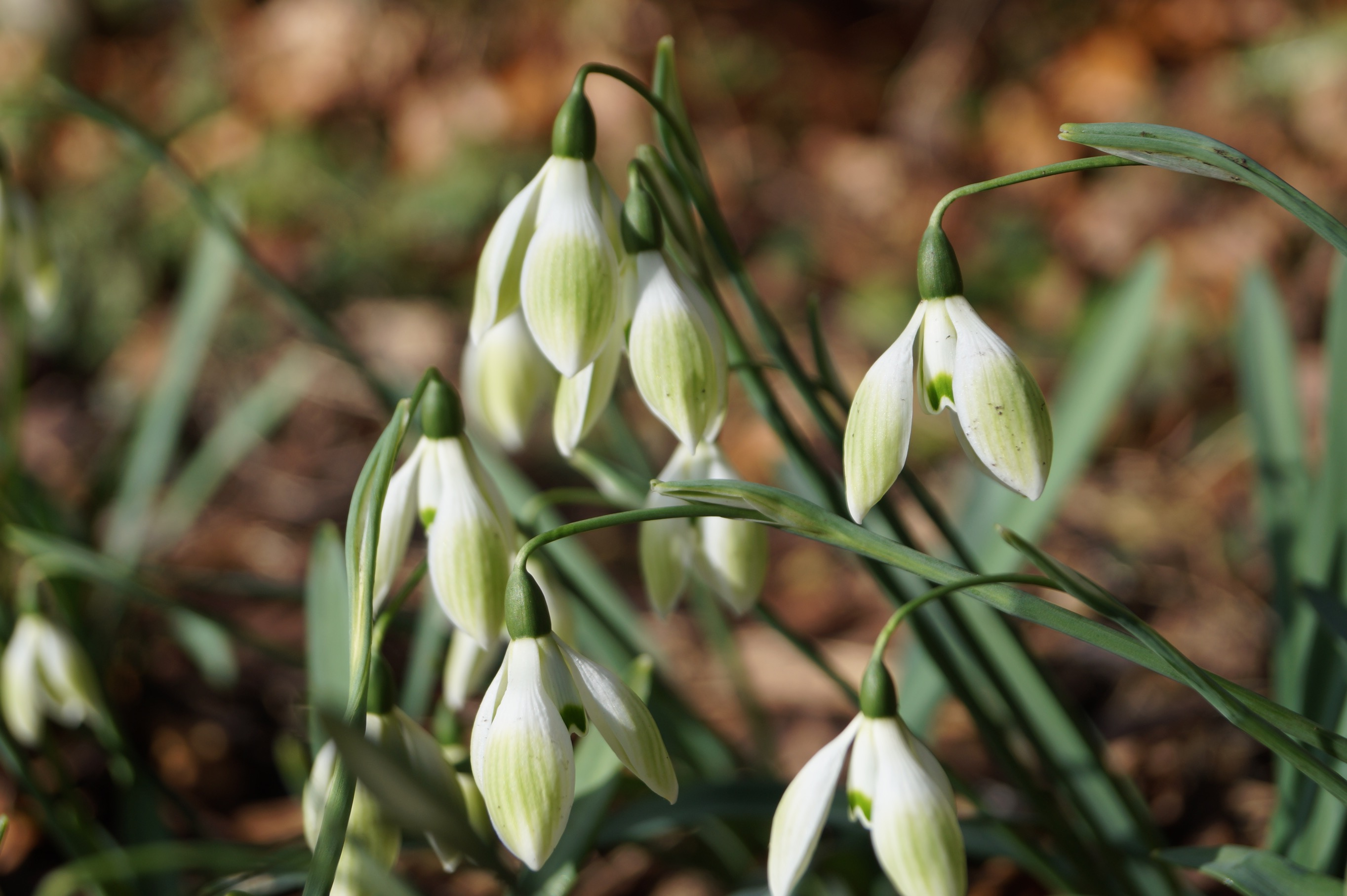 galanthus_cowhouse_green_morlas_plants