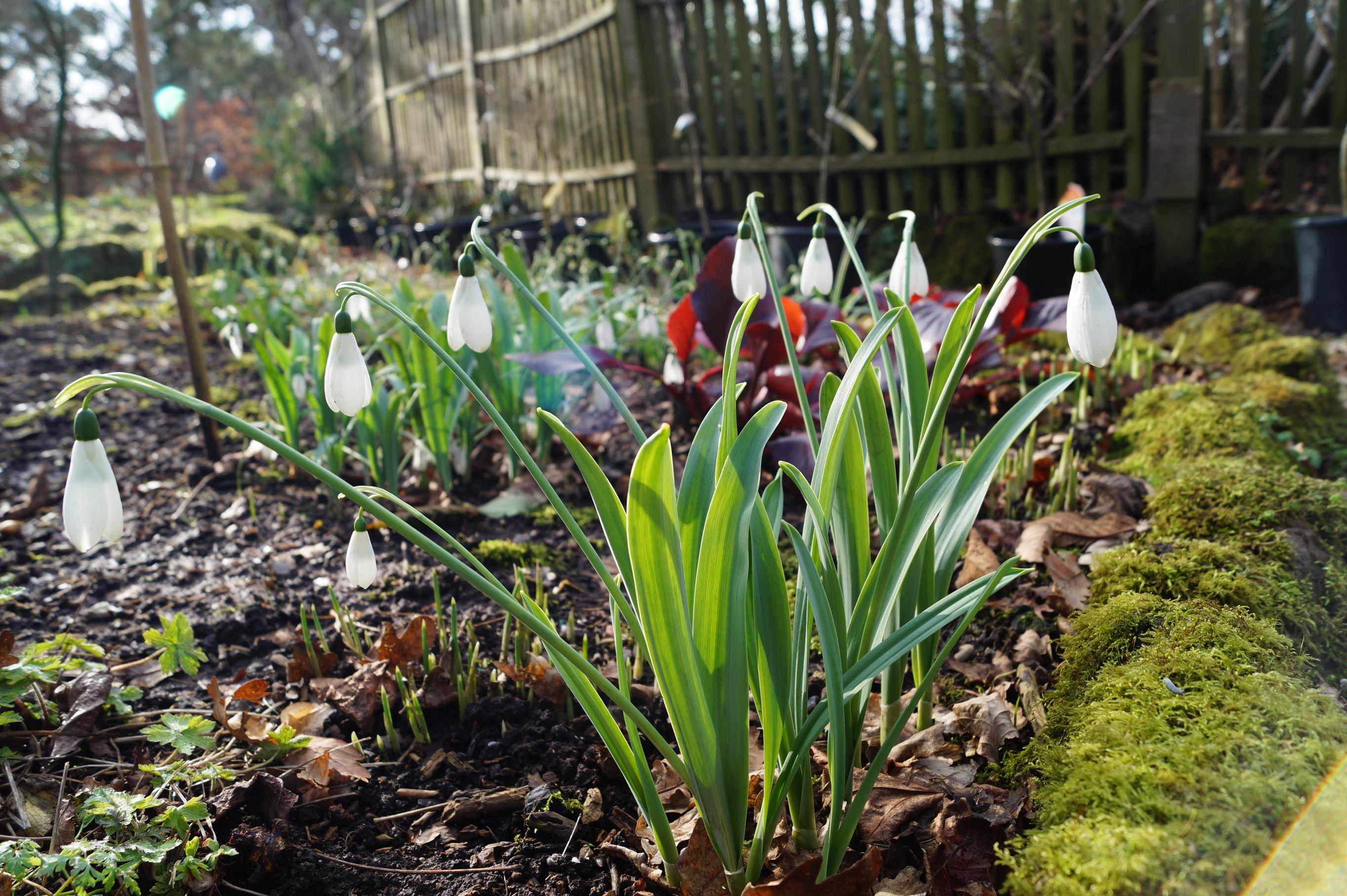 galanthus_elwesii_hercule_morlas_plants