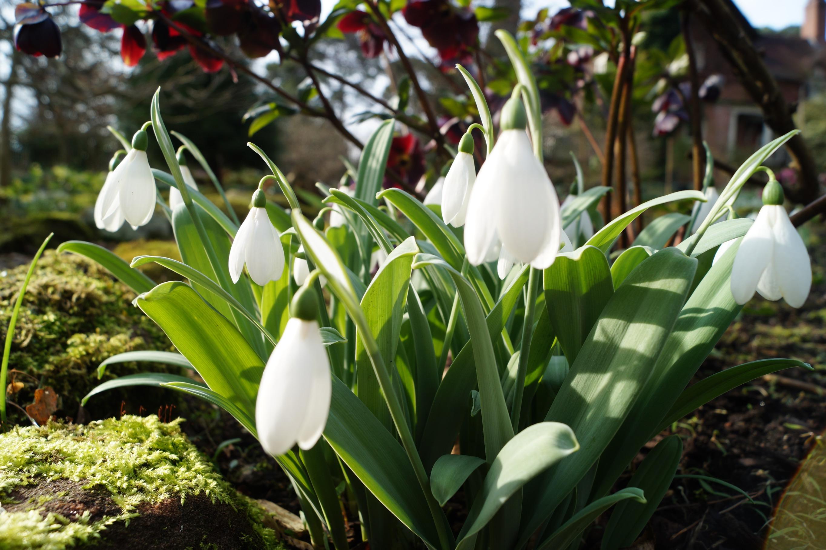 galanthus_elwesii_marjorie_brown3_morlas_plants