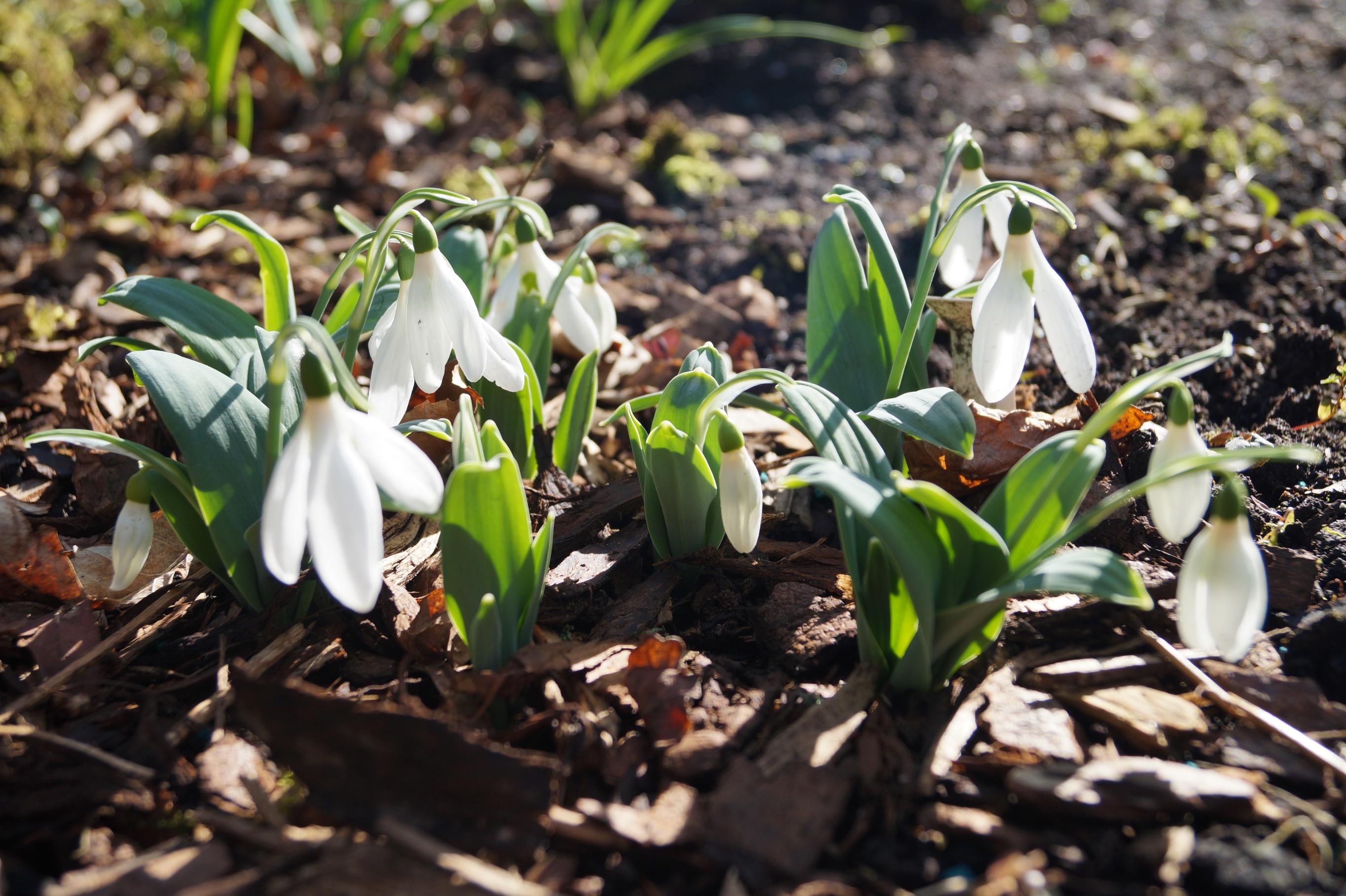 galanthus_elwesii_ruth_birchall_morlas_plants