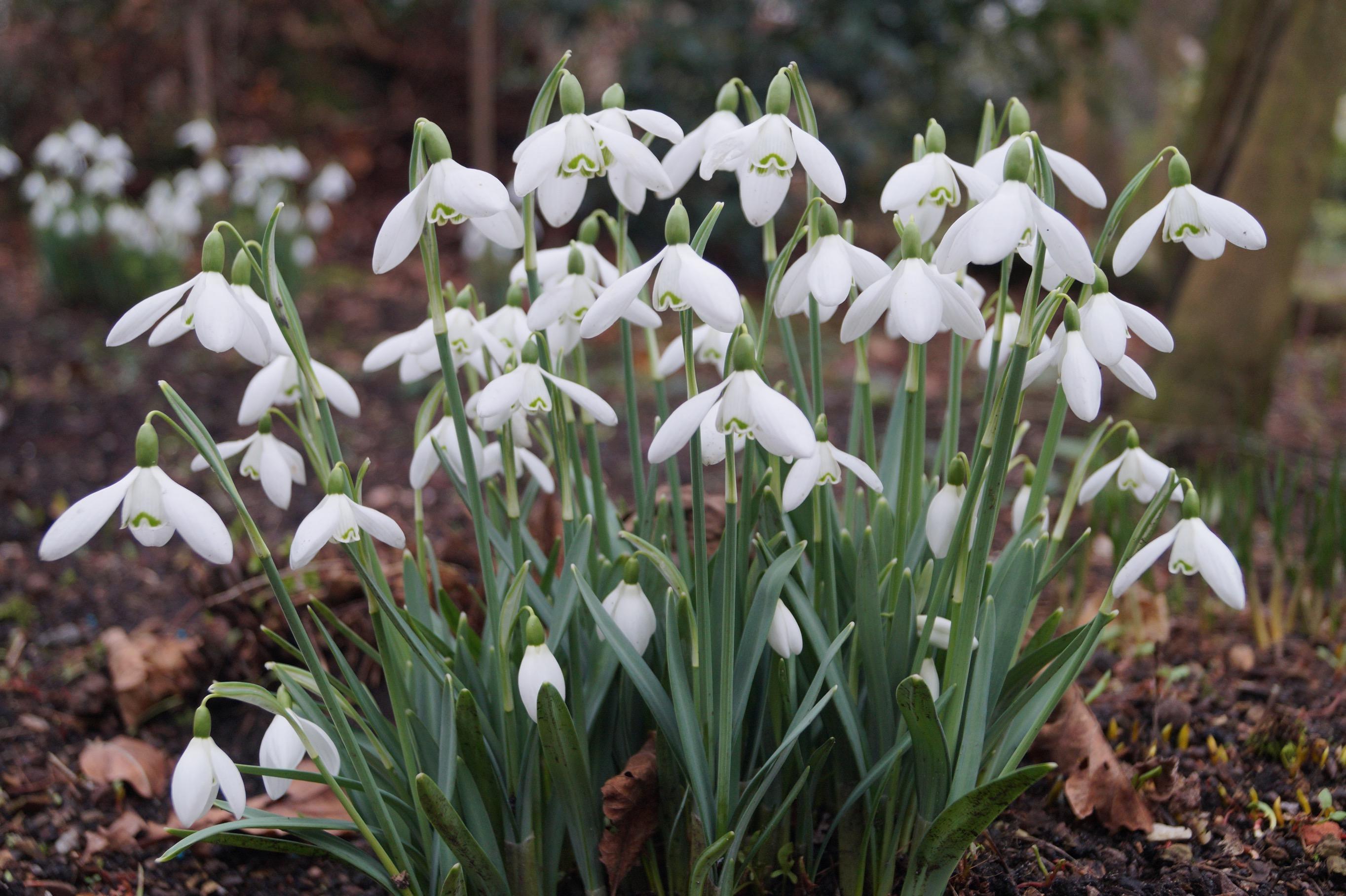 galanthus_headbourne_morlas_plants