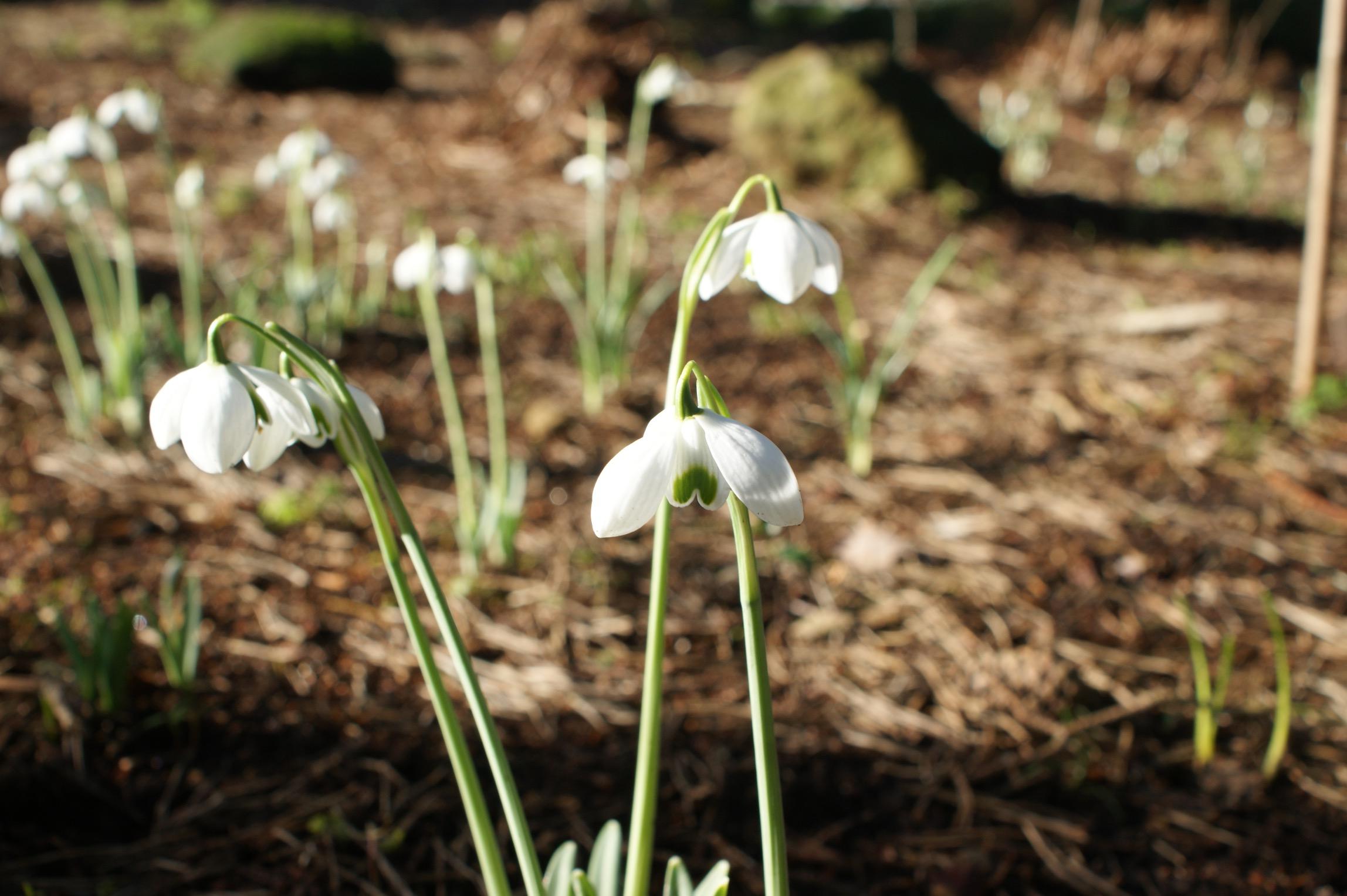 galanthus_hippolyta_morlas_plants