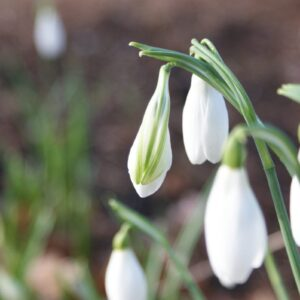 Galanthus 'James Backhouse'