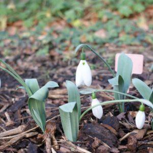 Galanthus elwesii 'Louise Ann Bromley'