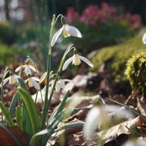 Galanthus nivalis 'Blonde Inge'