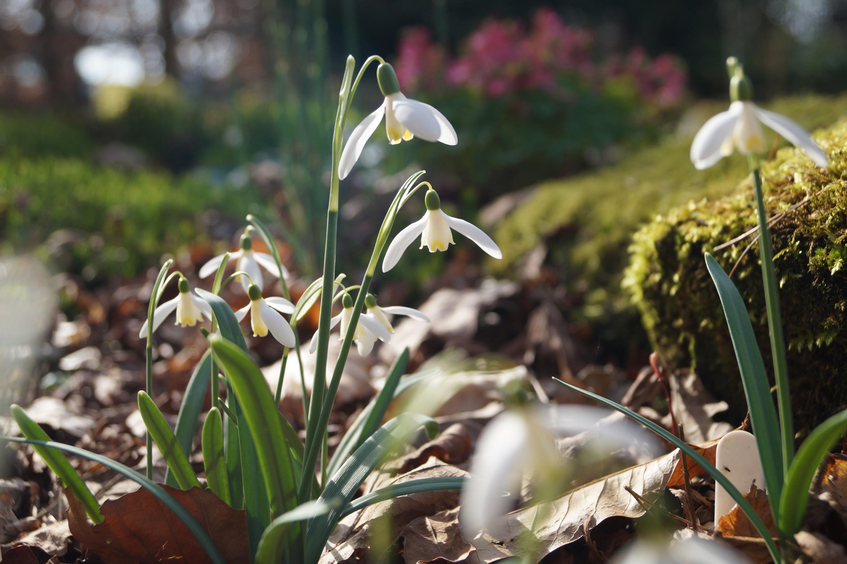 galanthus_nivalis_blonde_inge_morlas_plants