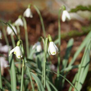 Galanthus nivalis 'Cinderella'