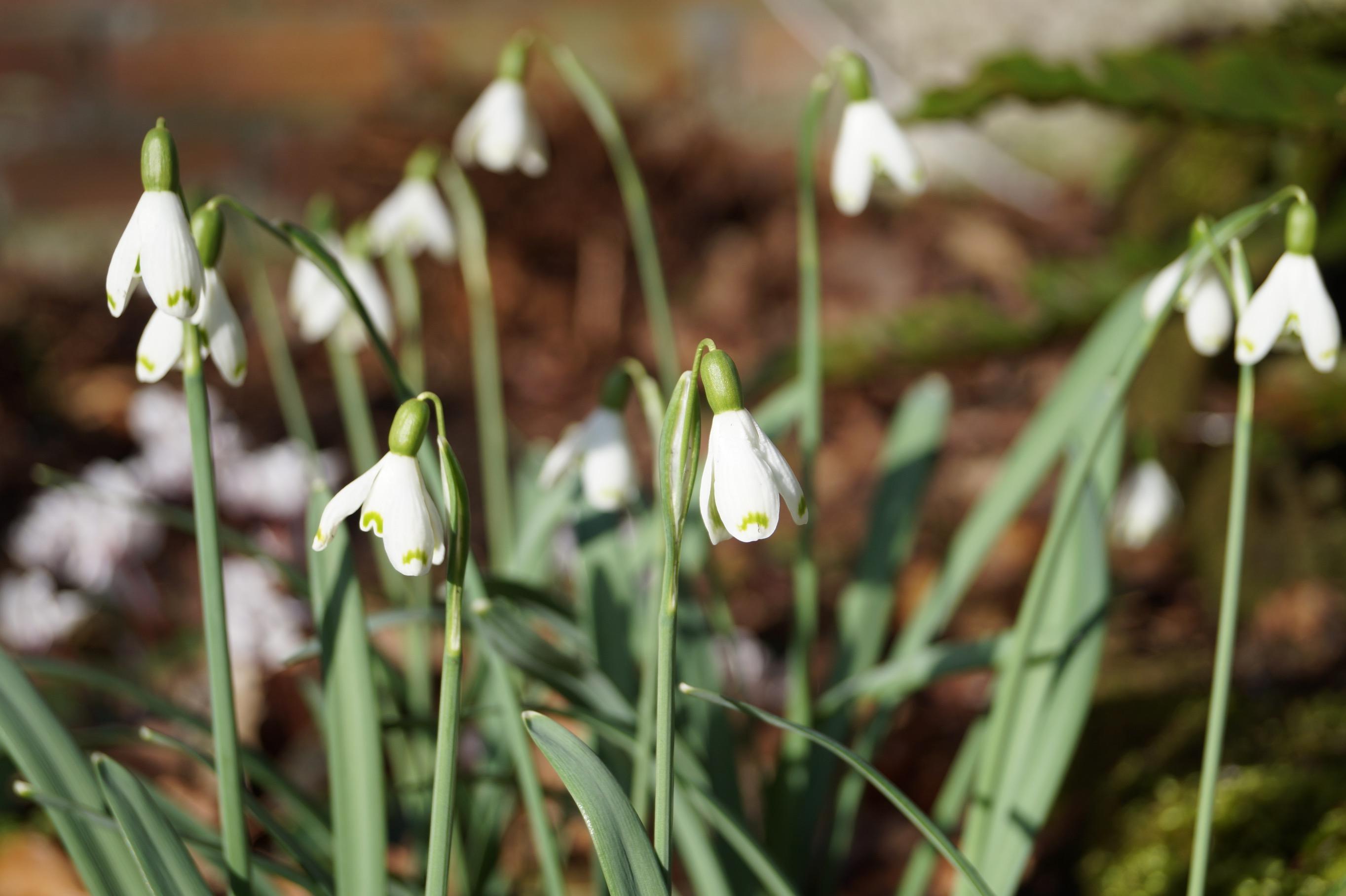galanthus_nivalis_cinderella4_morlas_plants