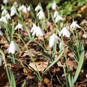 Galanthus nivalis 'Henry's White Lady'