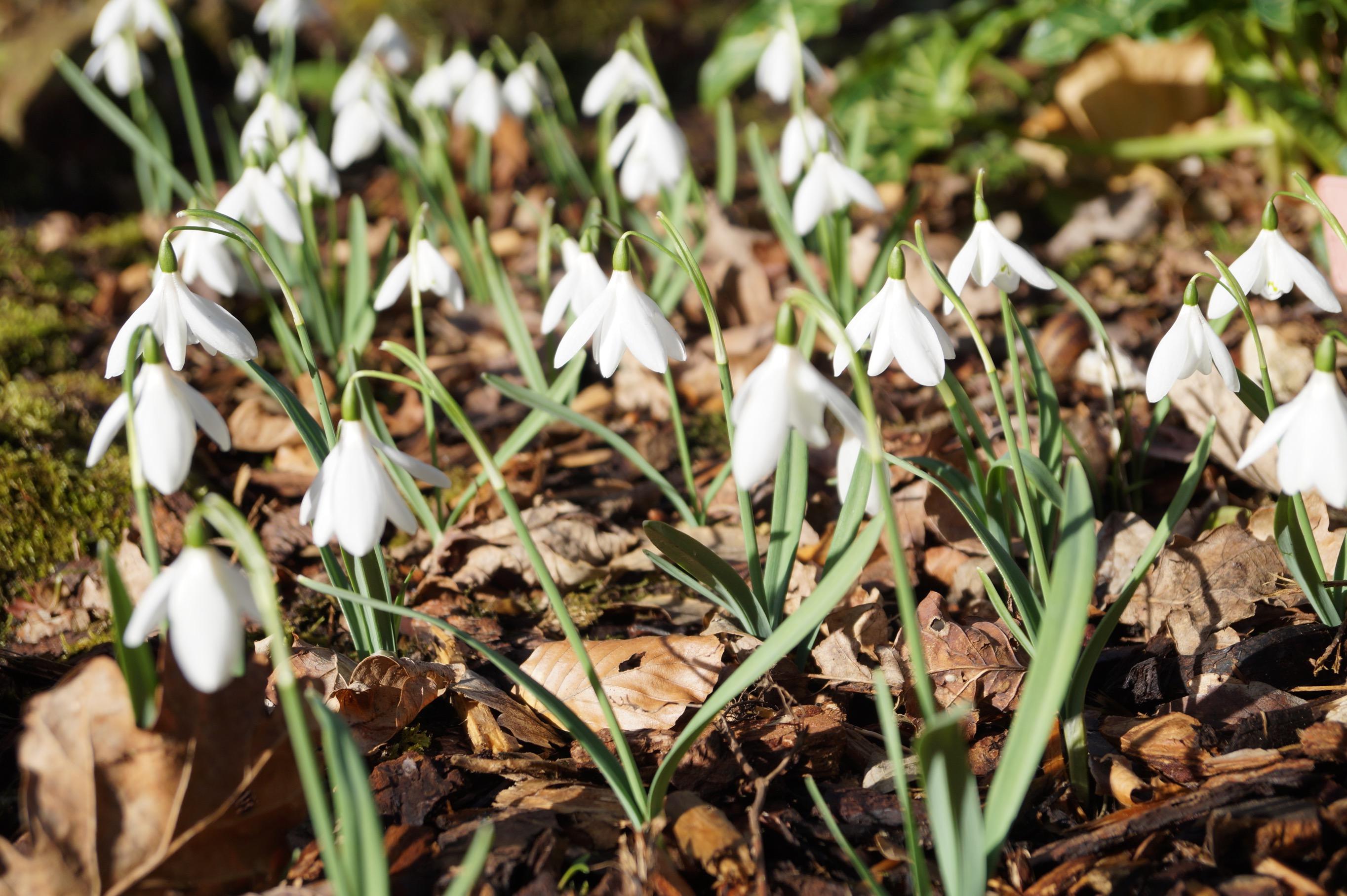 galanthus_nivalis_henrys_white_lady_morlas_plants