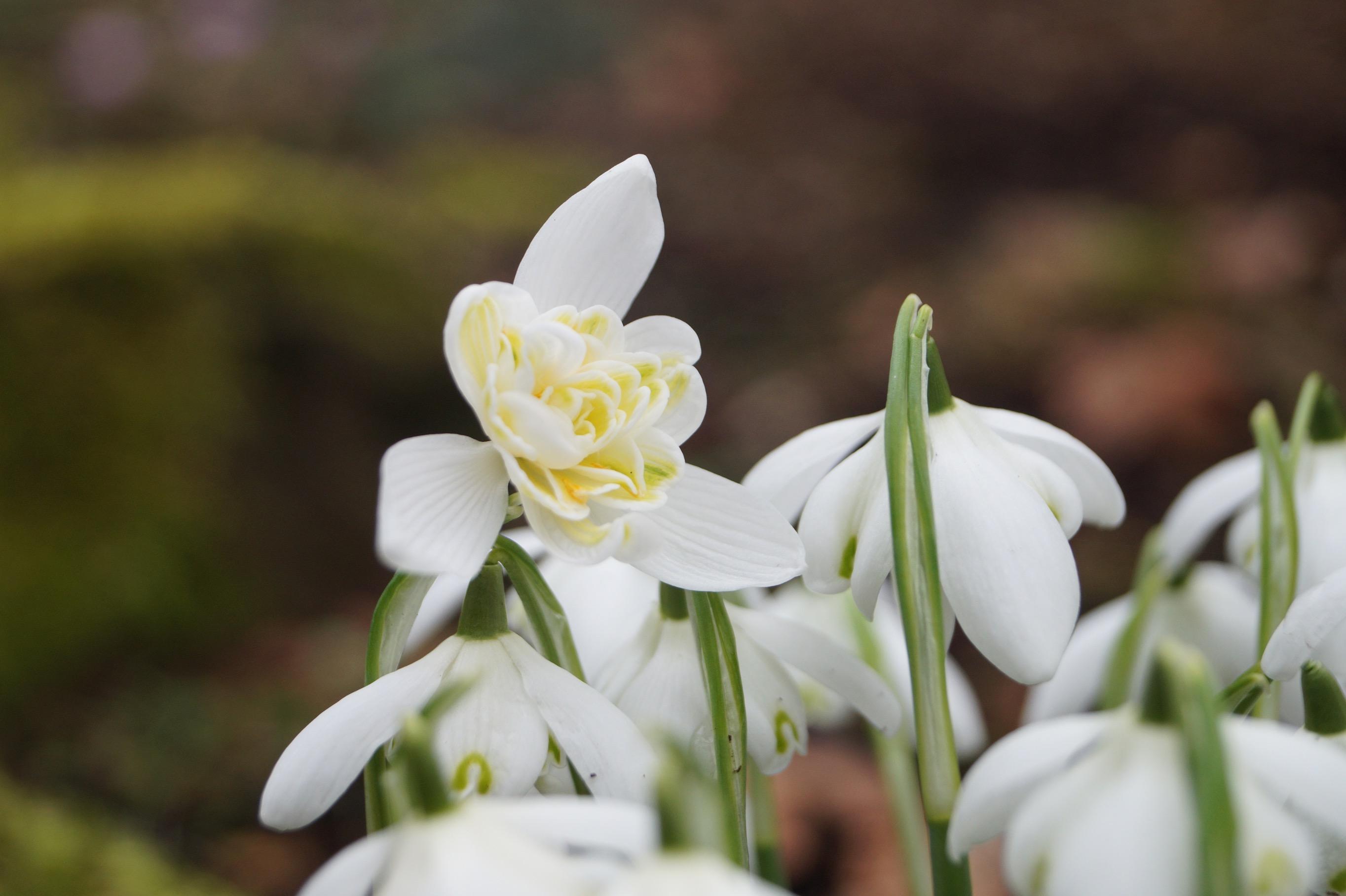 galanthus_nivalis_lady_elphinstone_morlas_plants