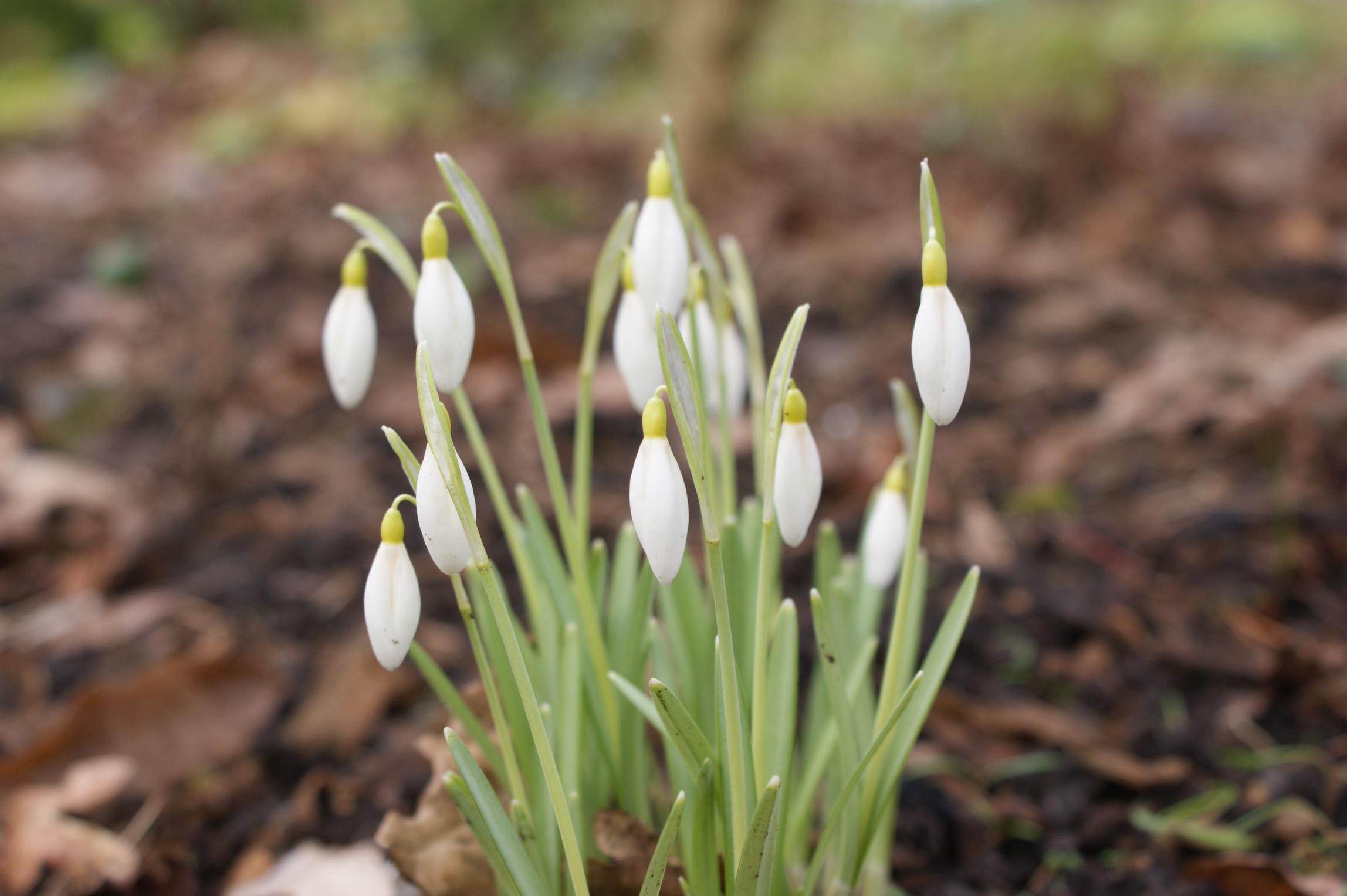 galanthus_nivalis_norfolk_blonde_morlas_plants