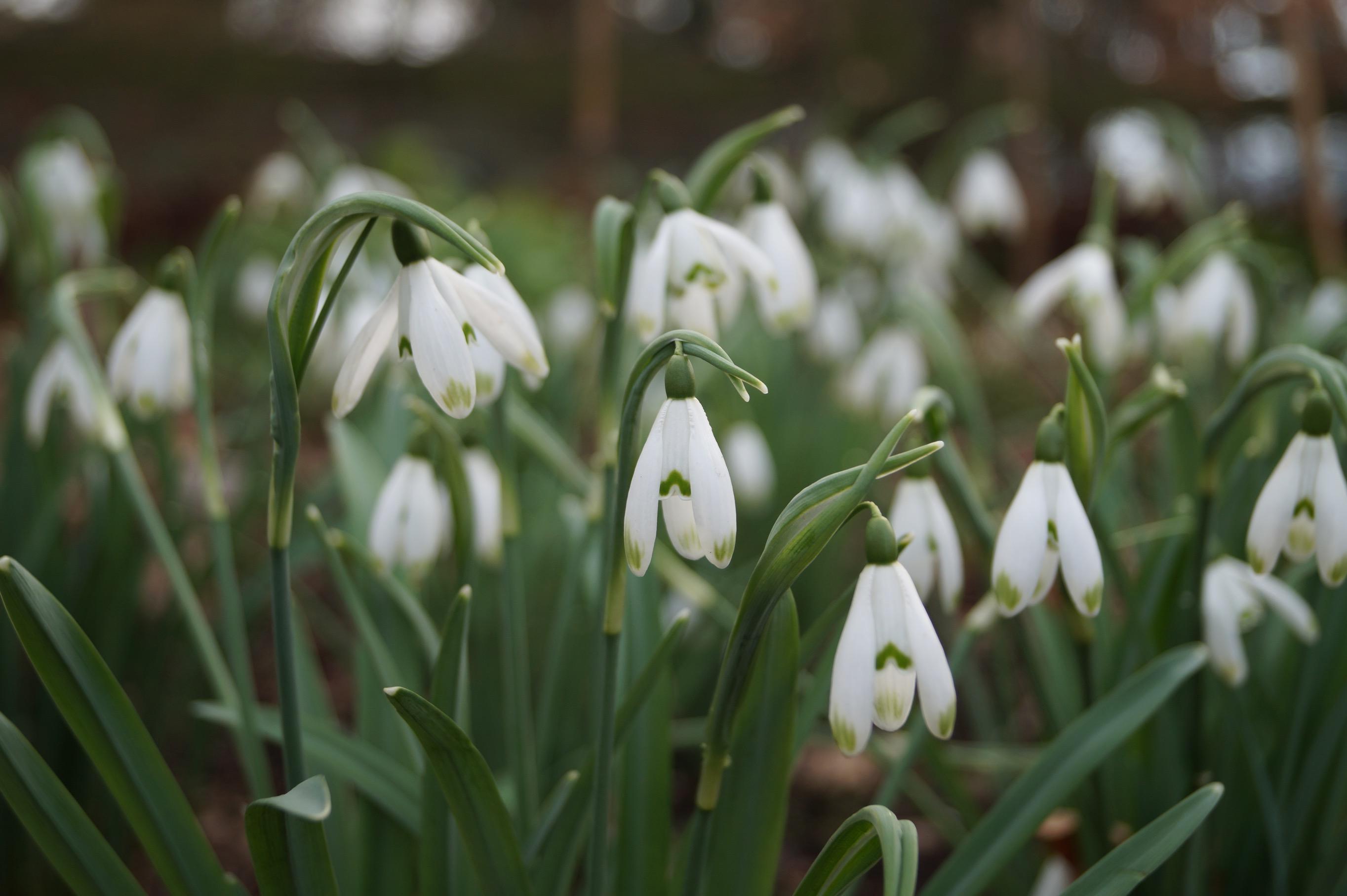 galanthus_nivalis_viridapice_morlas_plants