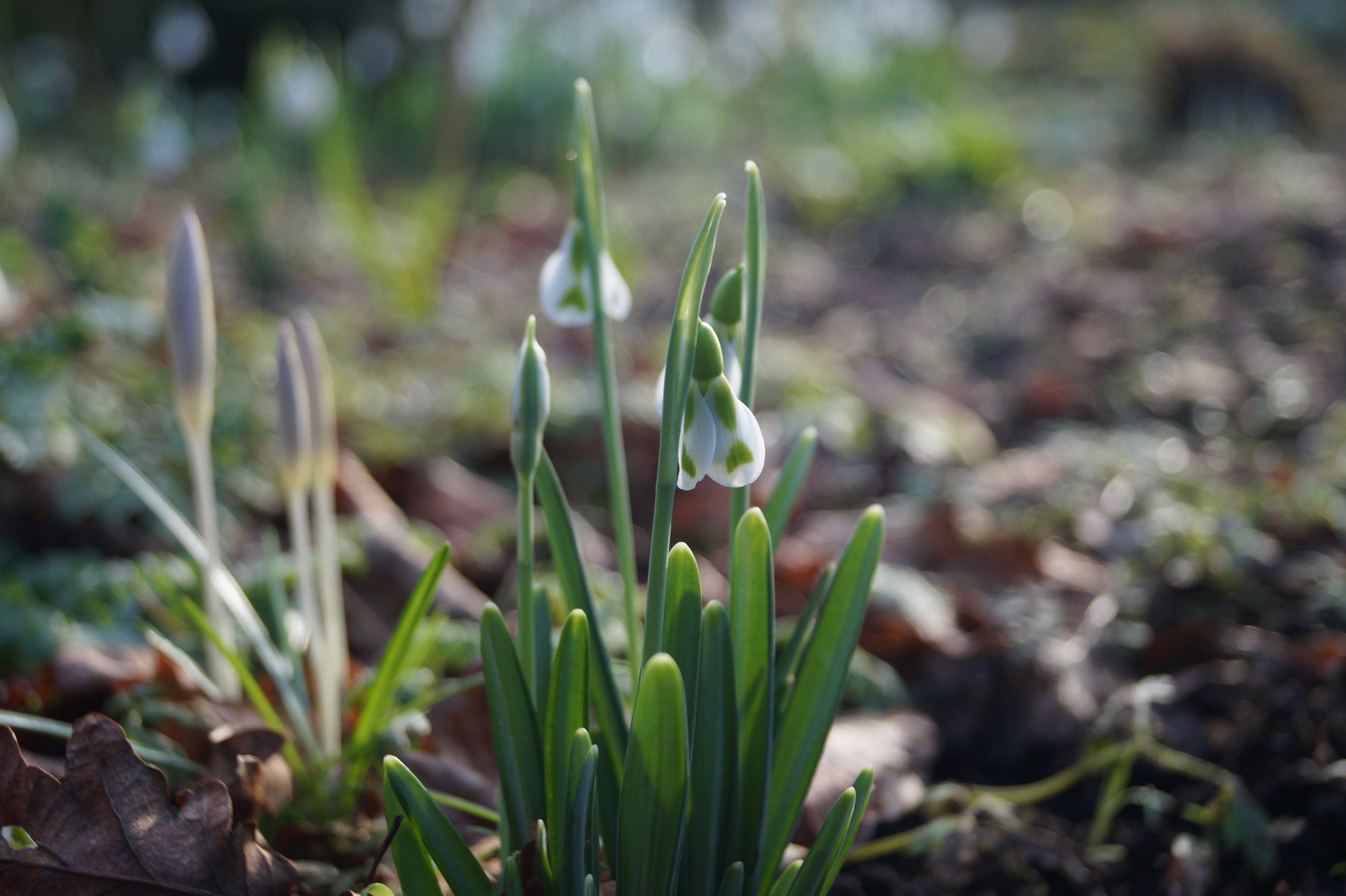 galanthus_phillipe_andre_meyer_morlas_plants