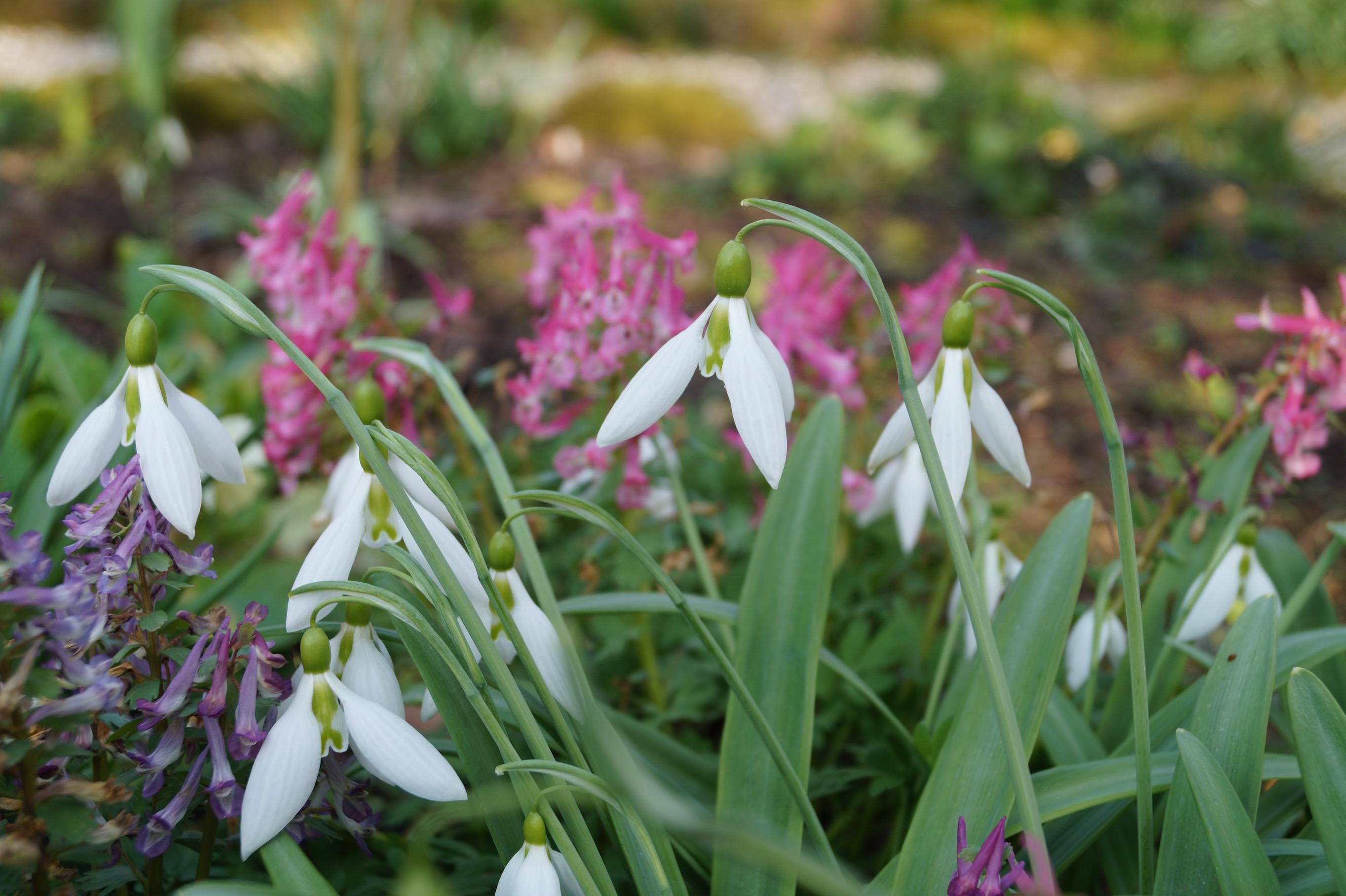 galanthus_plicatus _beth_chatto_morlas_plants