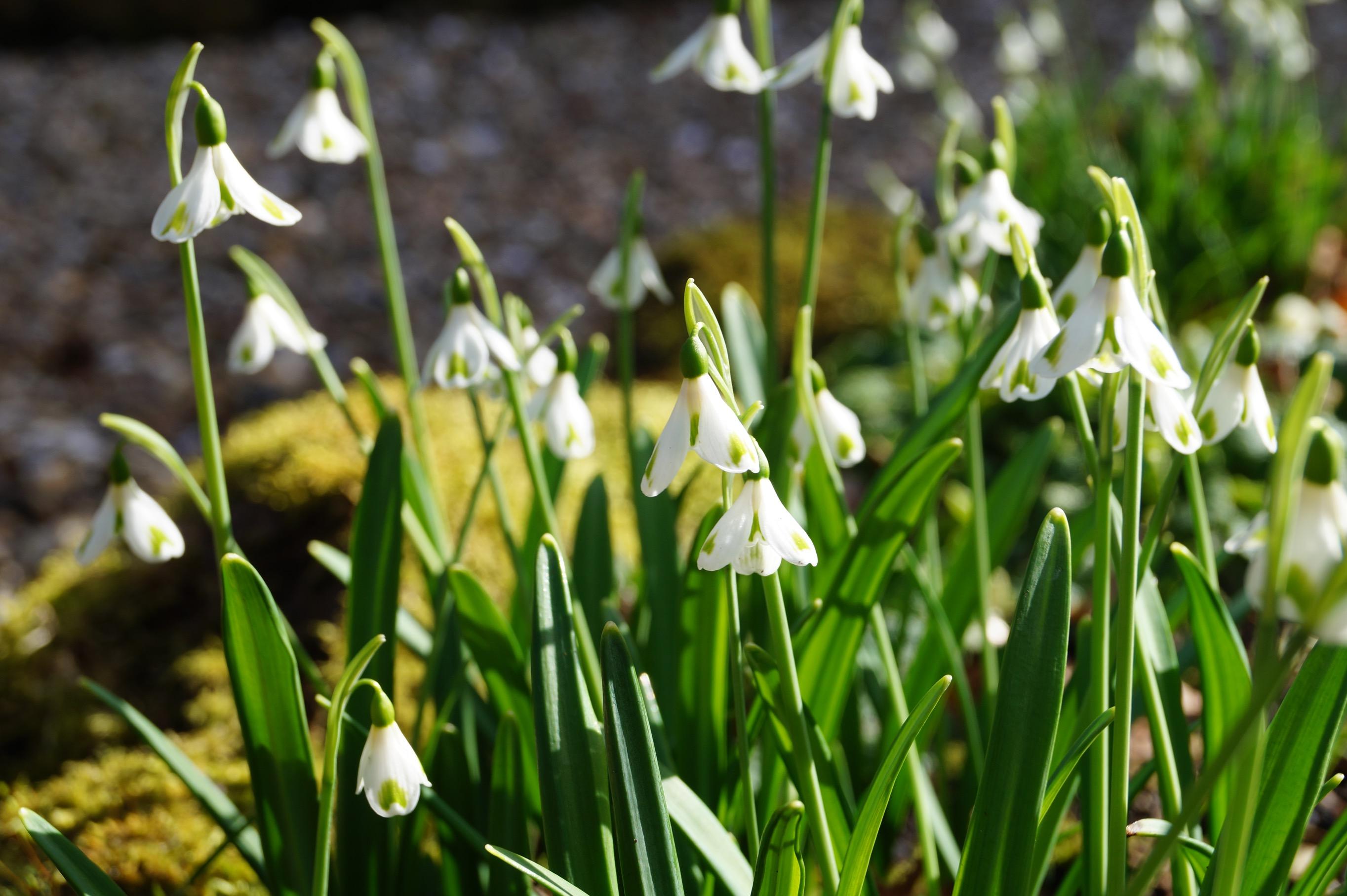galanthus_plicatus_trym_morlas_plants