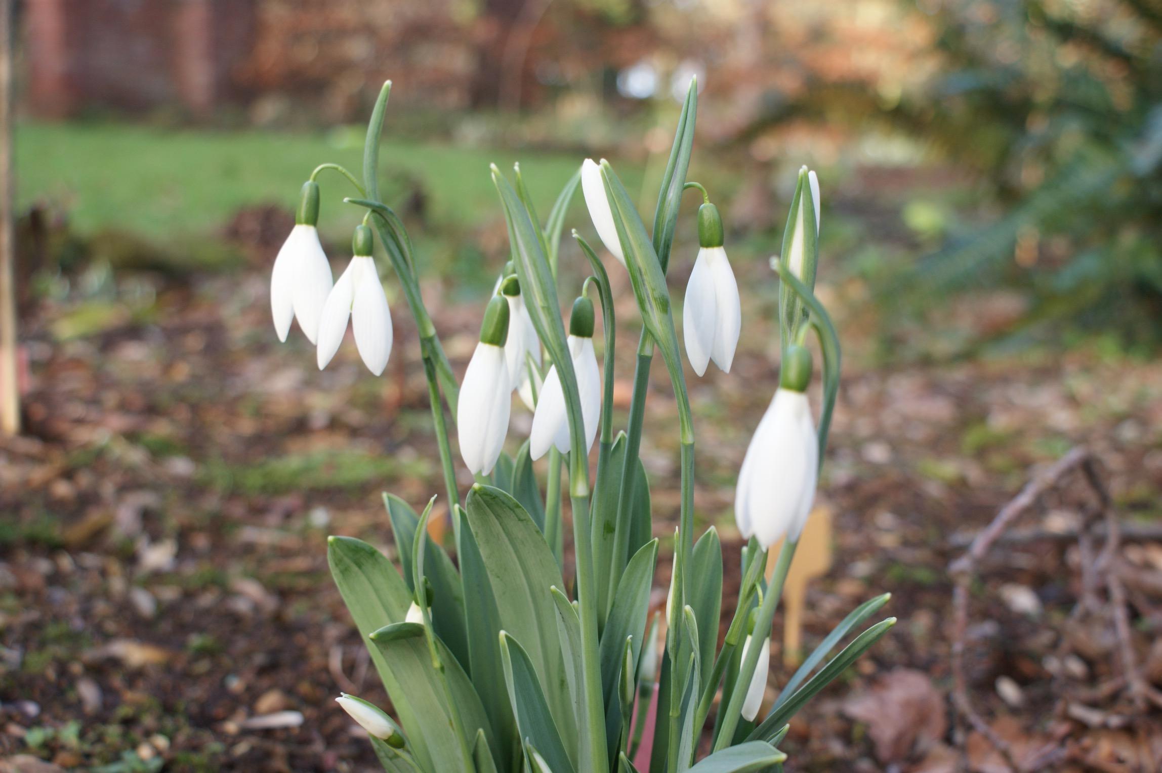 galanthus_reverand_hailstone_morlas_plants