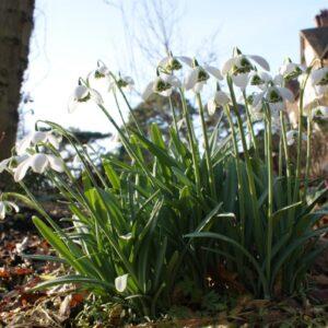 Galanthus 'White Swan'