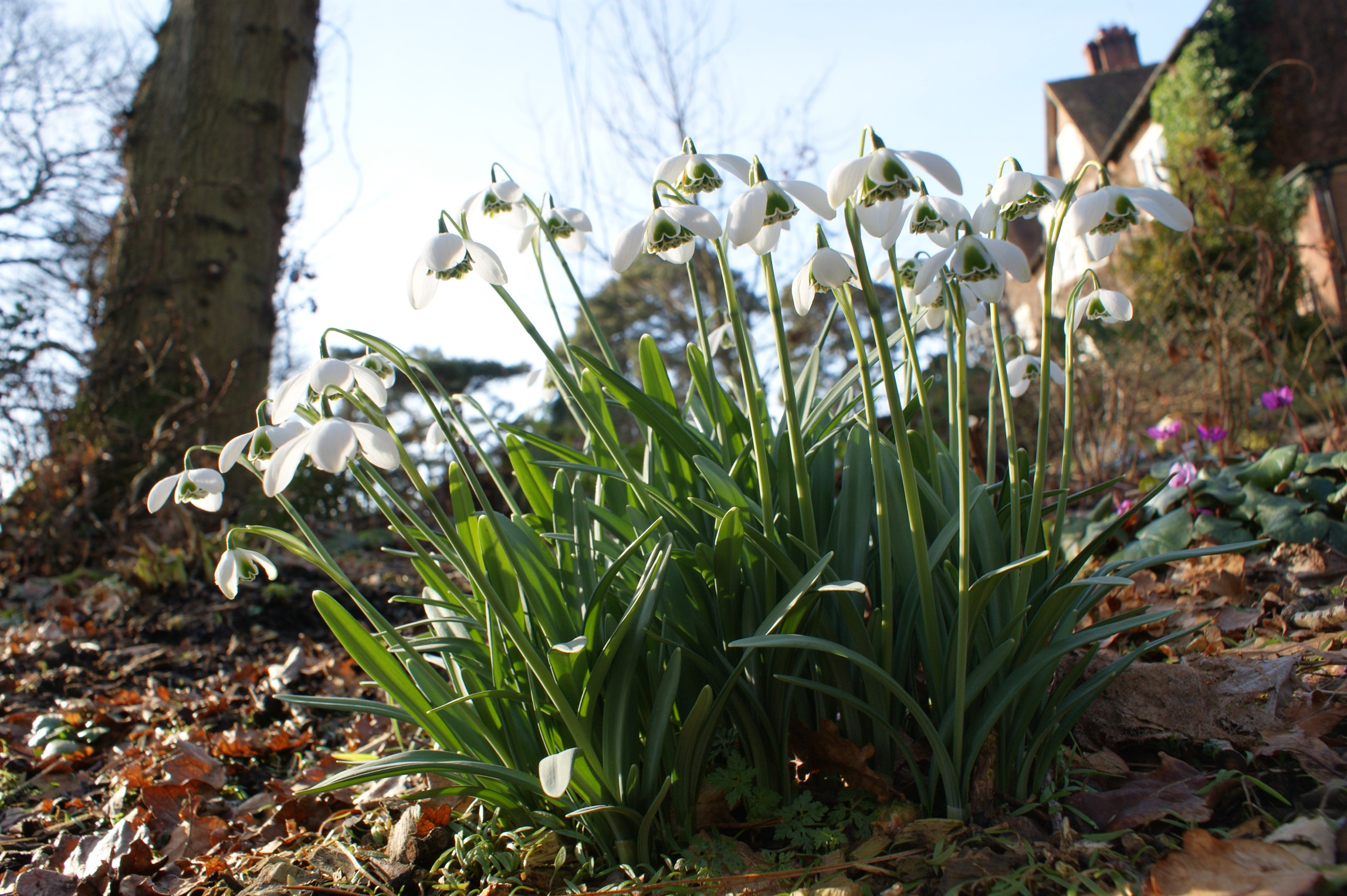 galanthus_white_swan_morlas_plants