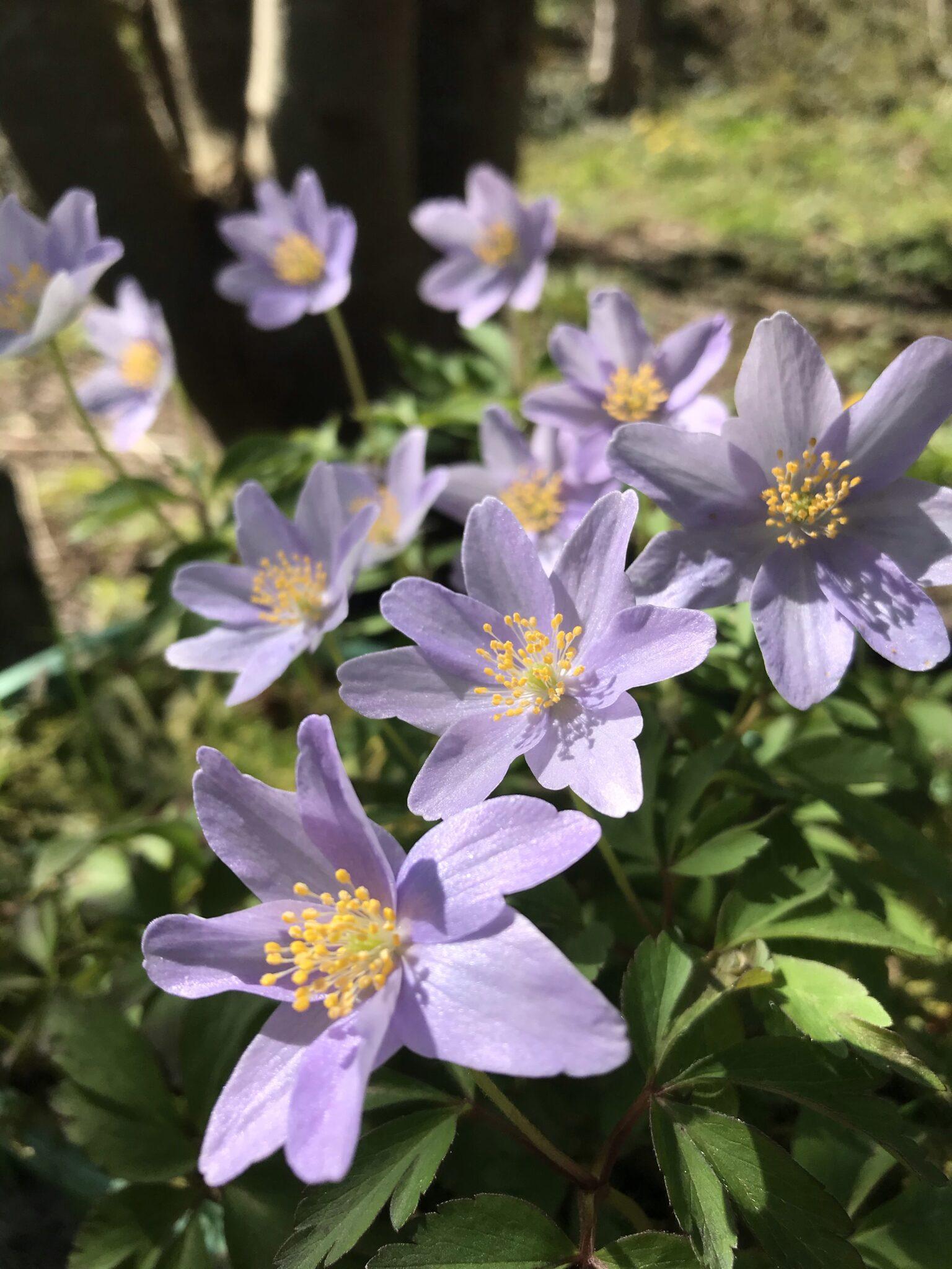 anemone_nemorosa_robinsoniana_morlas_plants