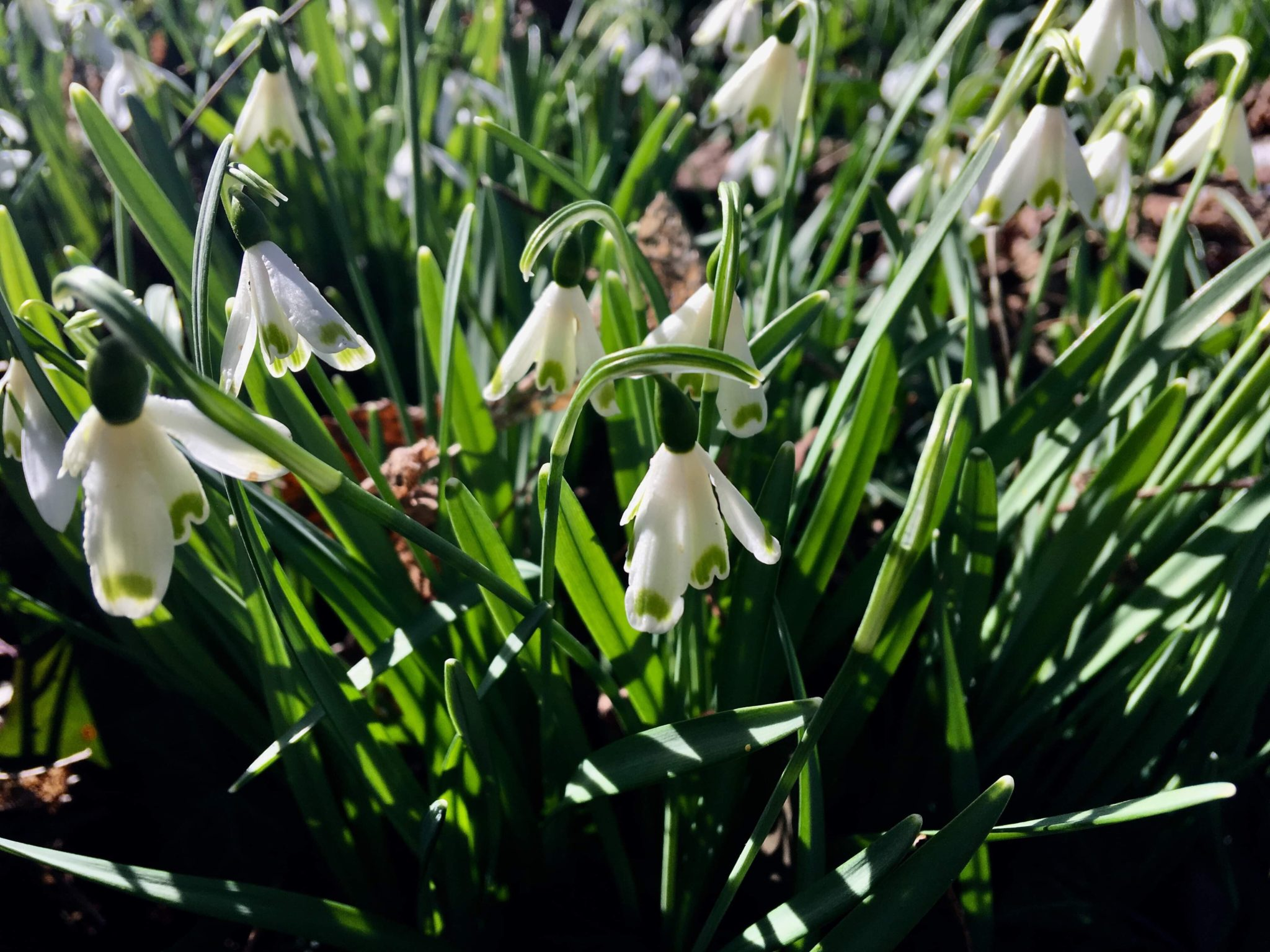 galanthus_nivlais_bell_star_morlas_plants