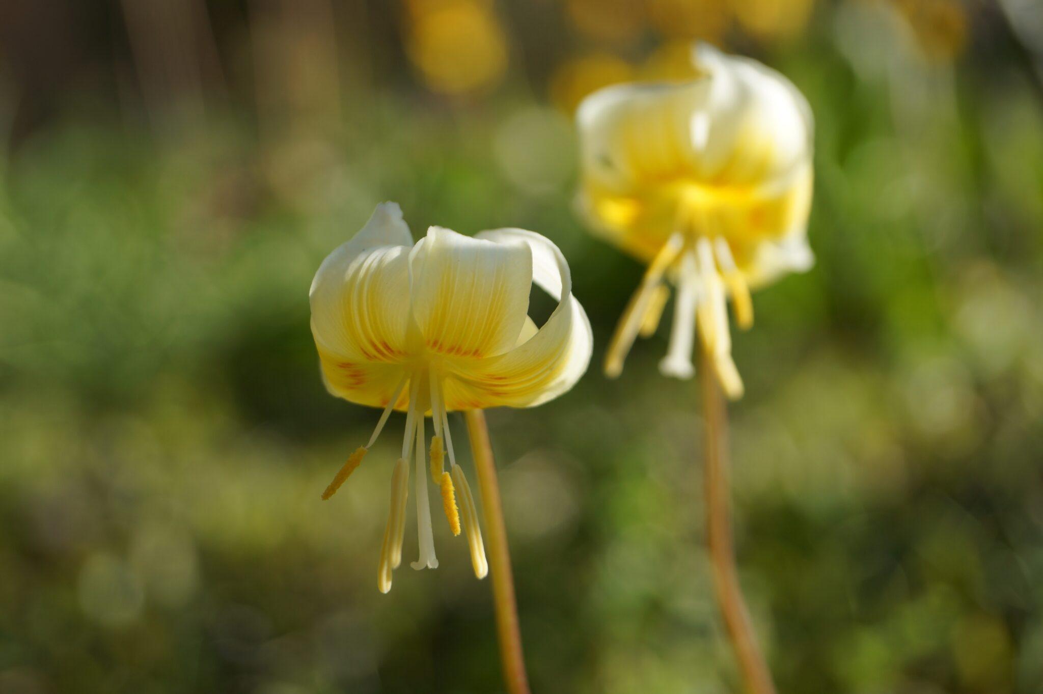 erythronium_craigton_cream_morlas_plants