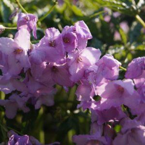 Cardamine pentaphylla AGM