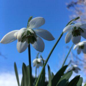Galanthus elwesii 'Godfrey Owen' AGM