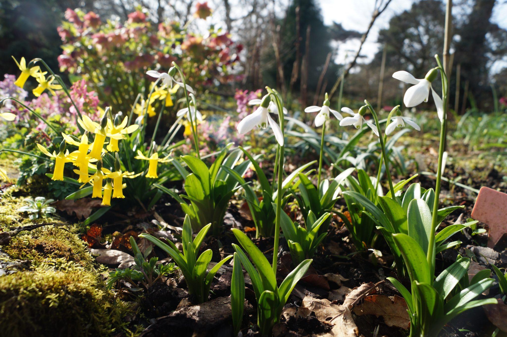 galanthus_woronowii_rodmarton_capella_morlas_plants