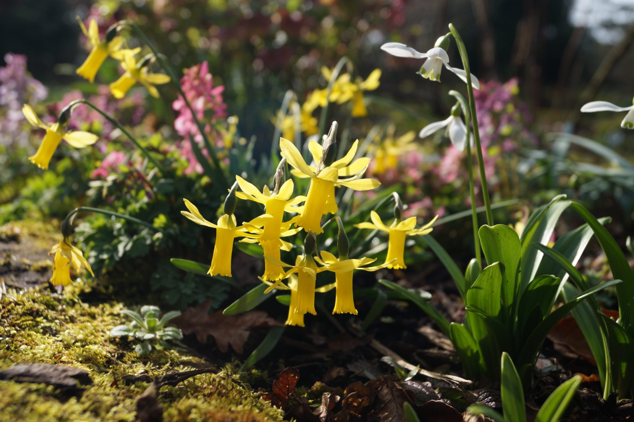 narcissus_minicycla_morlas_plants