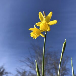 Narcissus 'Little Becky'