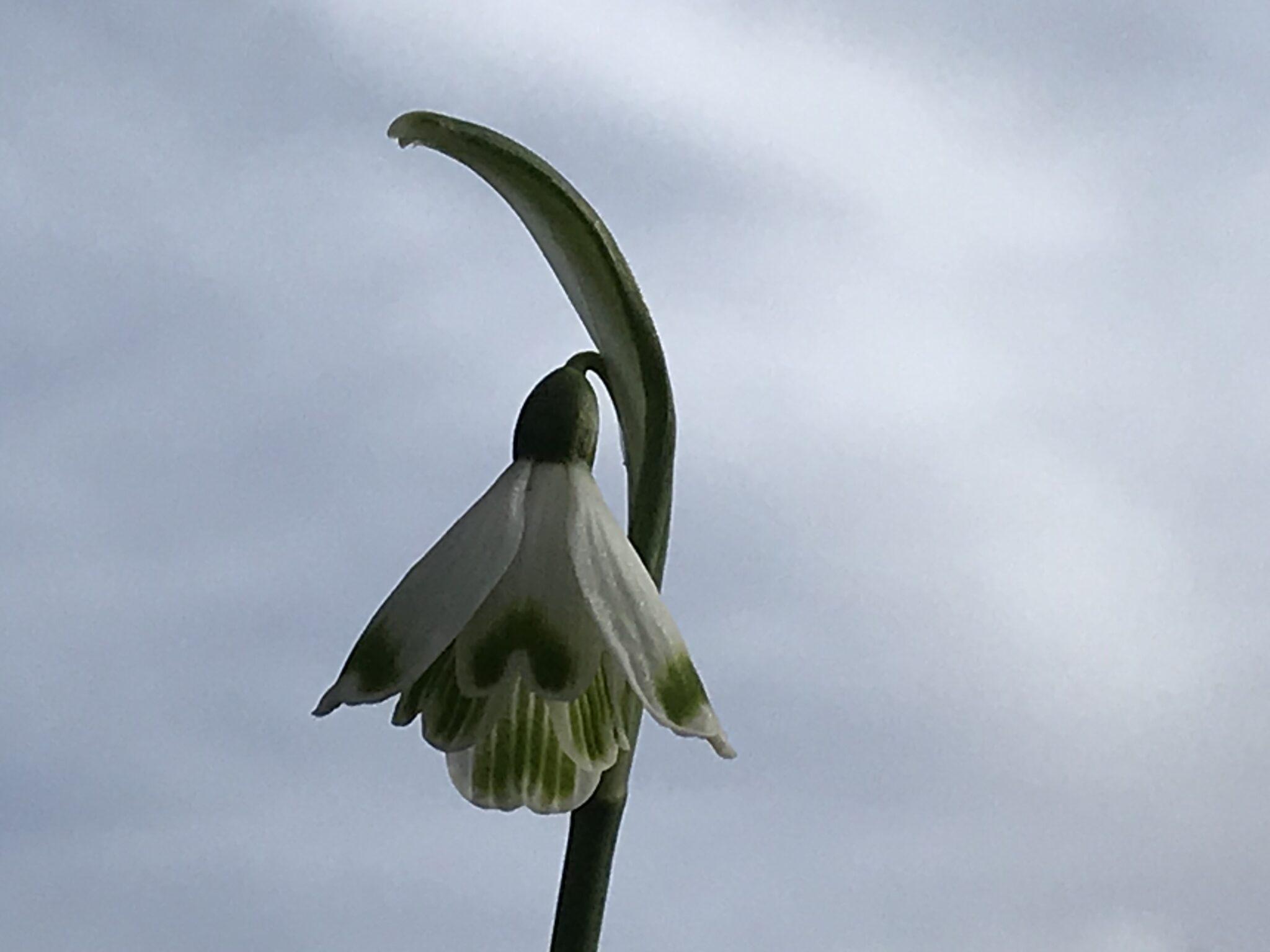 galanthus_nivalis_bell_star5_morlas_plants