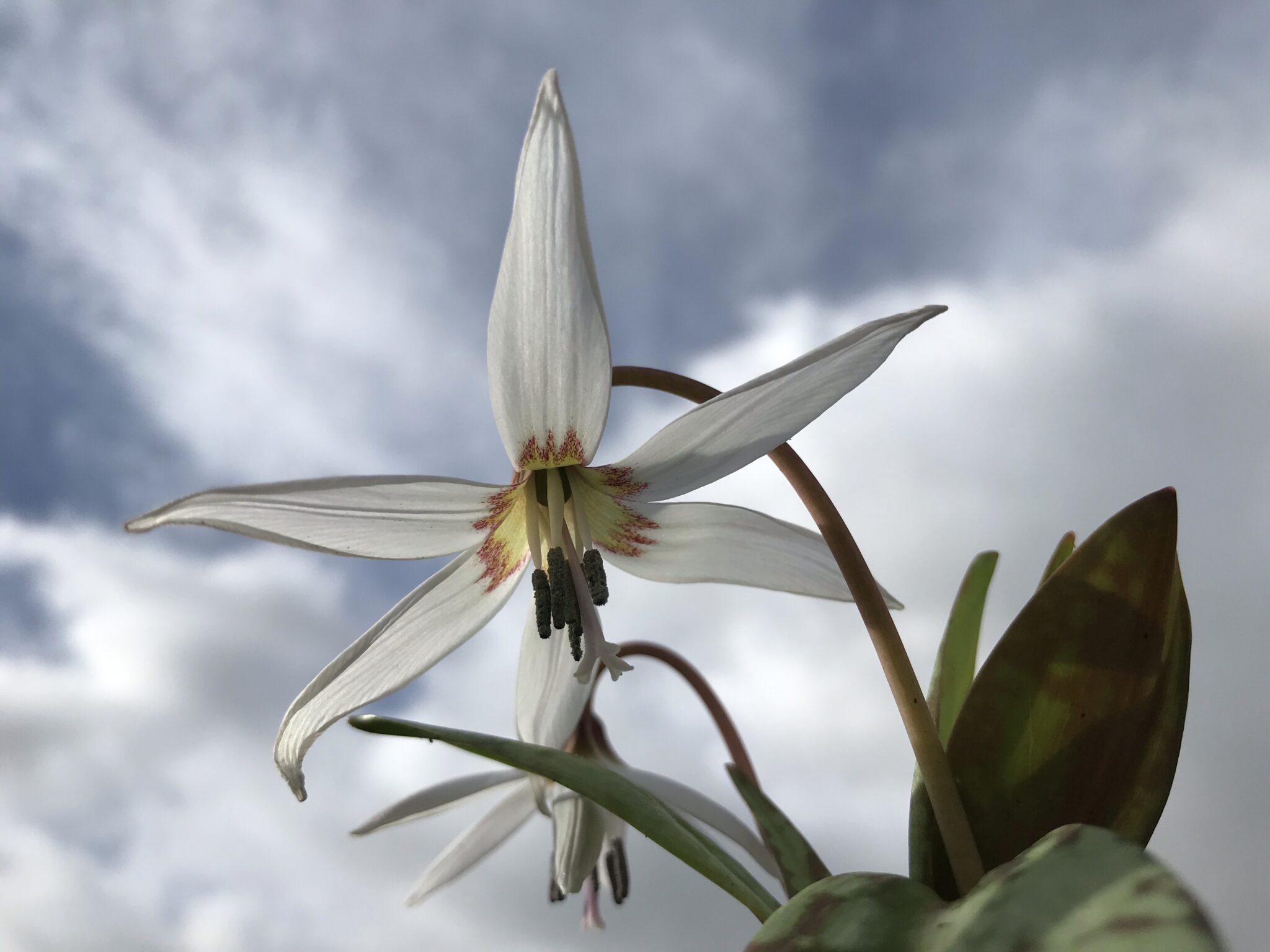 erythronium_dens_canis_white_splendour_morlas_plants