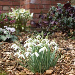 Galanthus nivalis 'Tiny Tim'