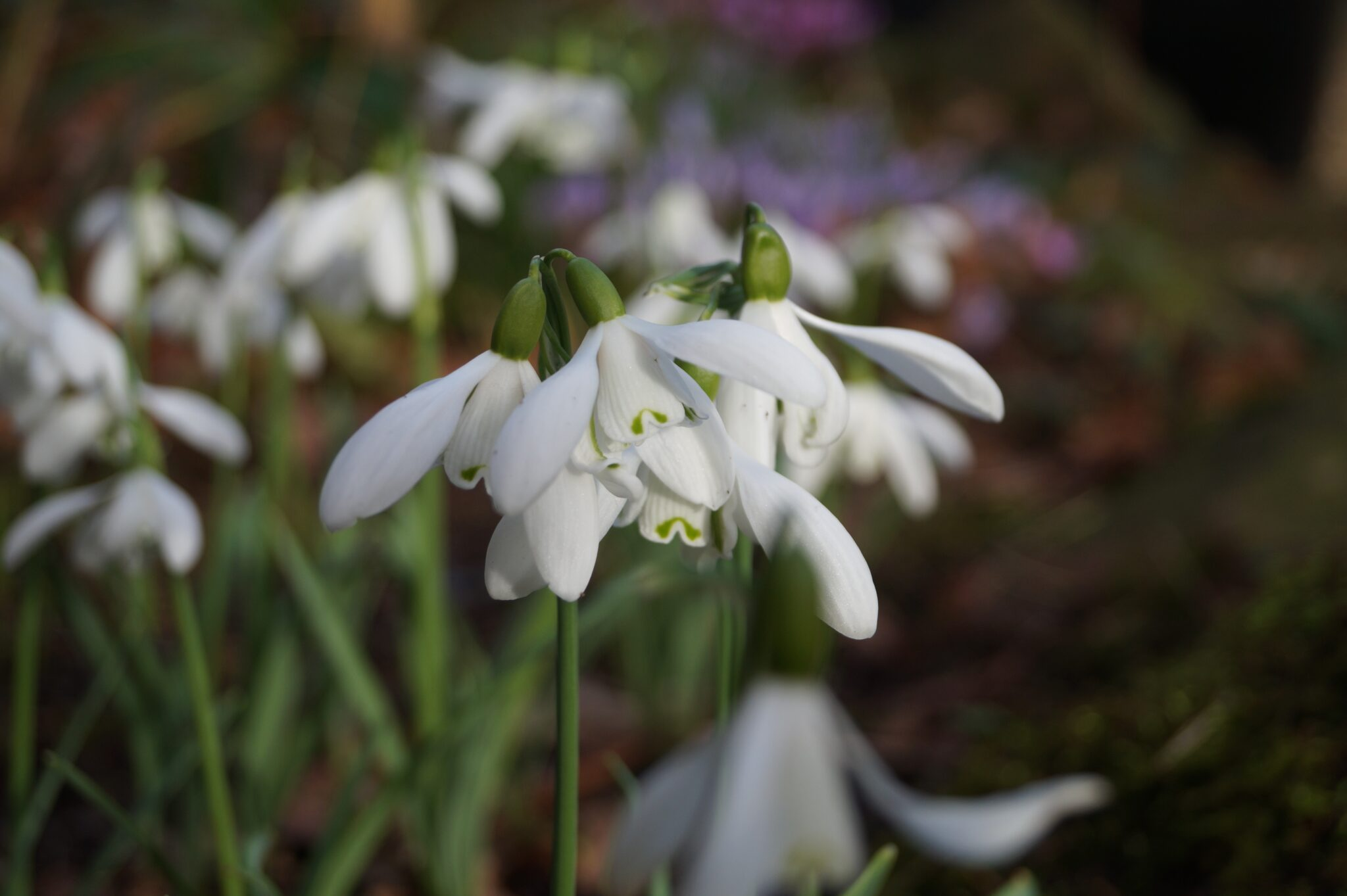 galanthus_mrs_thompson_morlas_plants