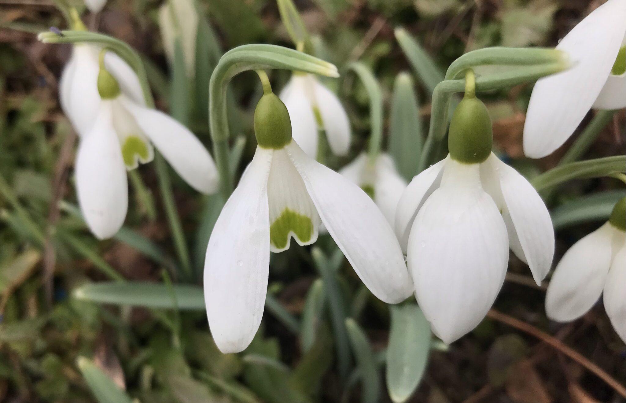 galanthus_seagull_morlas_plants