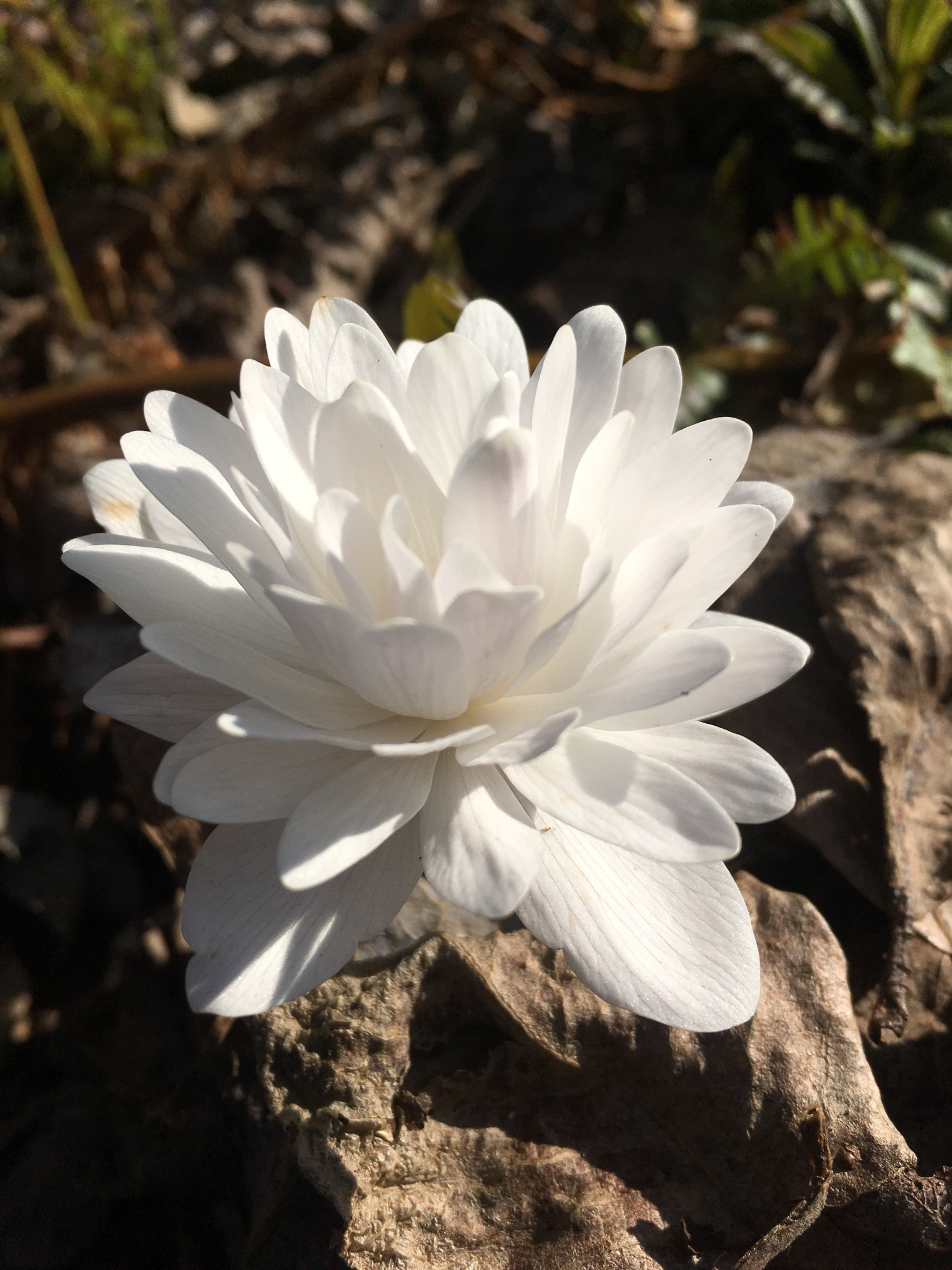 sanguinaria_canadensis_multiplex_morlas_plants